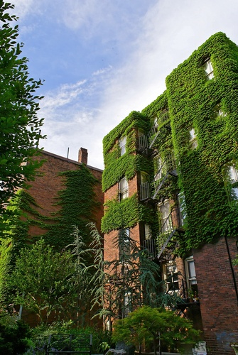 Ivy covered apartment buildings in Beacon Hill, Boston, MA, USA
