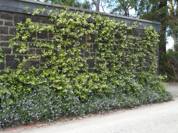 Star Jasmine To Cover The Retaining Wall Garden