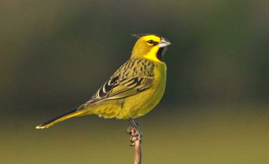 Considerado extinto, cardeal-amarelo é visto no Rio Grande do Sul após 15 anos