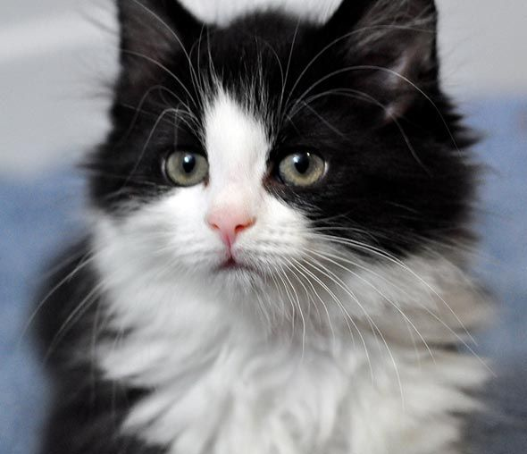 Fluffy little Tux