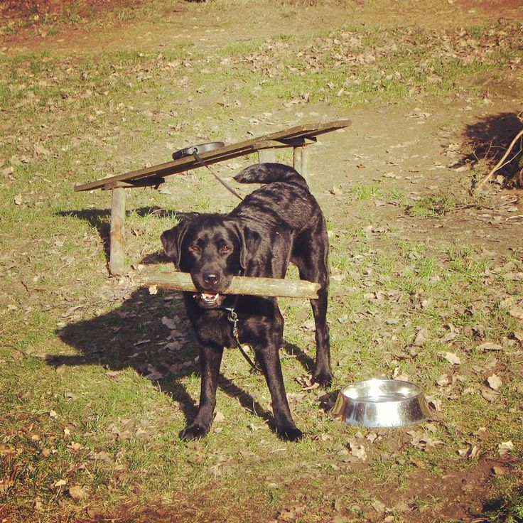#dog #labrador #young #youngboy #ready