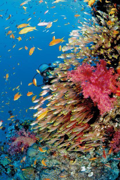 Coraux mous et glassfishes sur le site de The Sinker.
