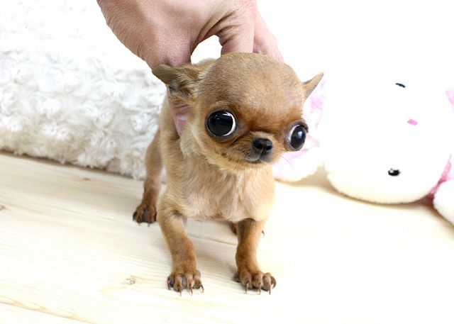 70 best images about Chihuahuas on Pinterest | Chihuahuas ...