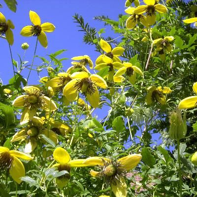 clematis tangutica golden tiara 39 kugotia 39 sur cl matite clematis fleurs. Black Bedroom Furniture Sets. Home Design Ideas