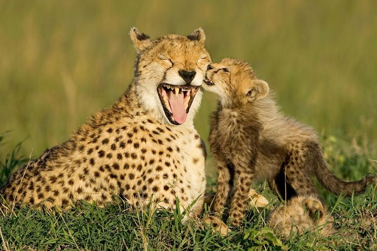 Baby Cheetah Facts Qbpsqkk | Animal Reports | Pinterest | Babies ...