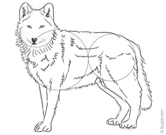 stepbystep instructions for beginners to draw a wolf