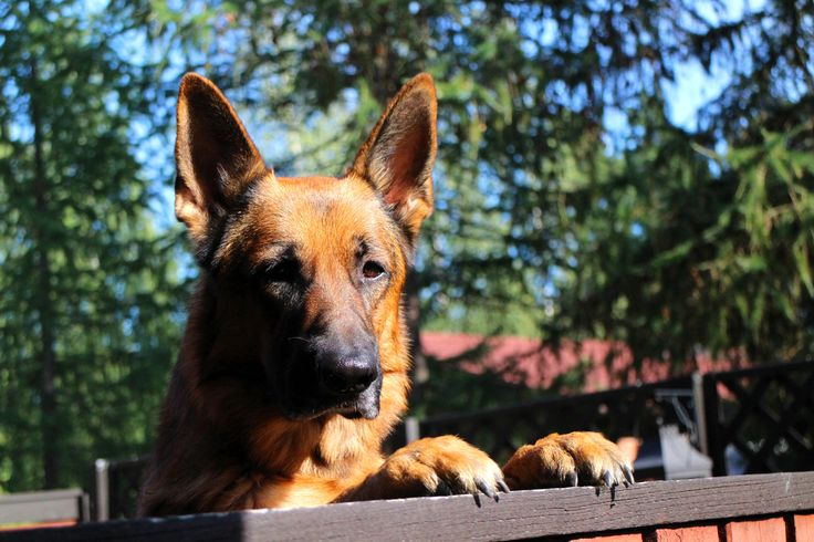 "Did I hear someone say ""dinner""? Handsome German Shepherd sure knows what is important in life. www.visitporvoo.fi"