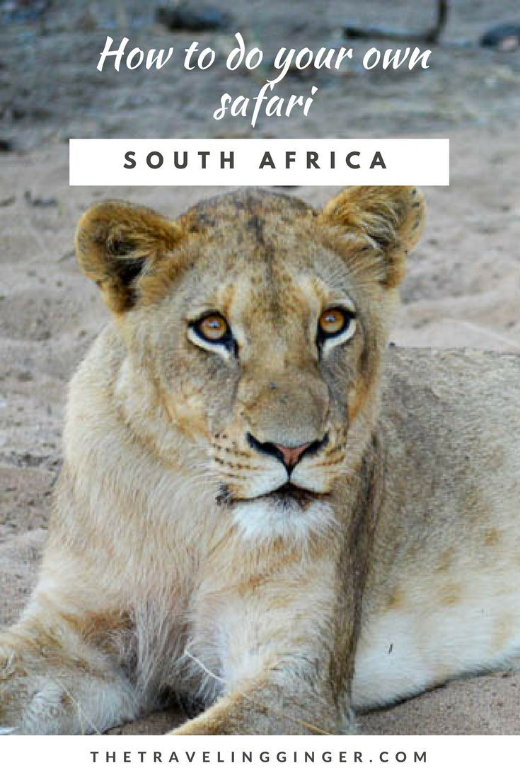 A guide on how to do your own safari in South Africa. All the tips and advice you need for a safari that you can do yourself. You don't need to hire a guide or a truck to go on safari in Africa, check out my do it yourself safari tips, advice and information right here from someone who has been doing it her whole life.