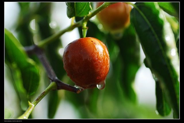 Jujube Fruit for Stronger Bones and Digestive Health | 1mhealthtips