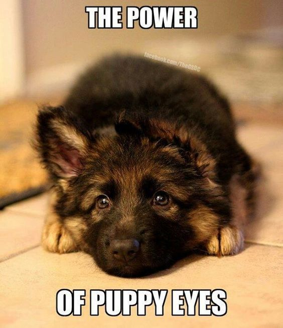Ther Power of German Shepherd Puppy