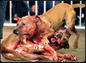 #DogFighting is considered a sport by some. I would like to put those people in the ring with the dog and let them see how it feels!