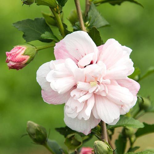 Strawberry Smoothie Hibiscus — Shrubs| Spring Hill Nurseries