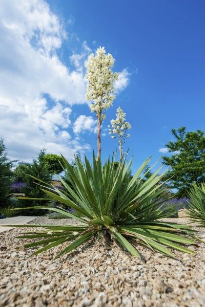 best 25  yucca plant ideas on pinterest