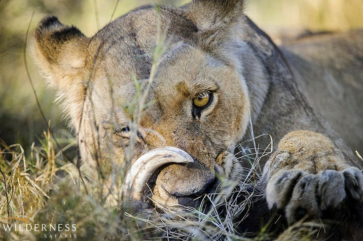 Little Mombo – The sheer numbers and diversity of wildlife surrounding Mombo Camp all year round ensure that  every guest has a breathtaking big game viewing experience. #Africa #Safari #Botswana
