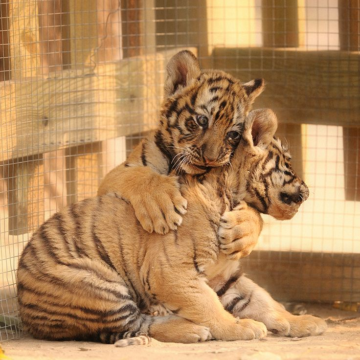 I wuvz you bubby!: Photos, Big Cat, San Diego Zoos, I Love You, Love Is, Baby Animal, Tigers Cubs, Lovei, Bigcat