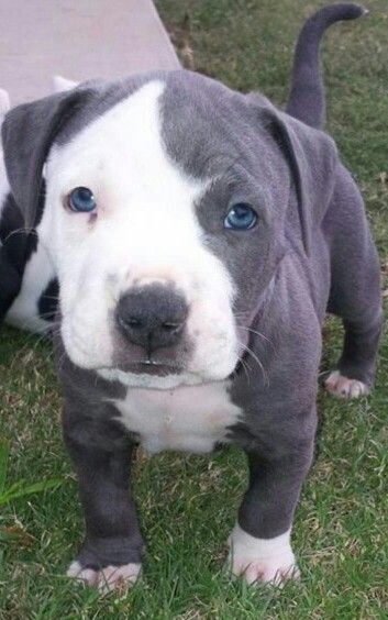 Our adorable blue pit puppy Smoker!