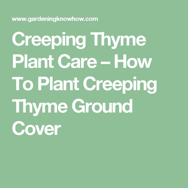 Creeping Thyme Plant Care – How To Plant Creeping Thyme Ground Cover