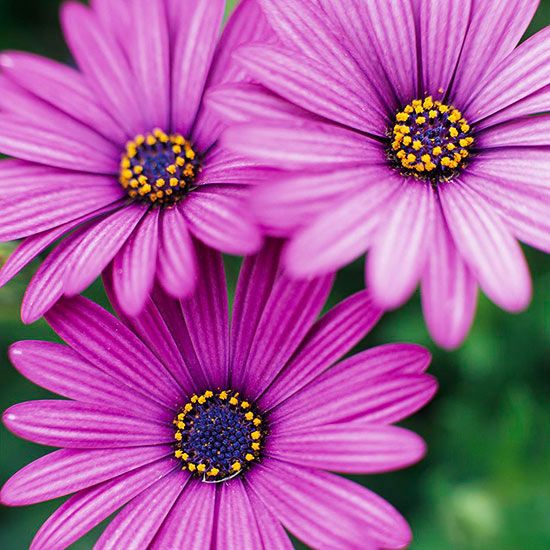 Osteospermum is one of the hottest plants on the market and for good reason. These vibrant-colored, sun-loving, cool-season annuals attract birds, work well in containers and pack a fragrant punch.