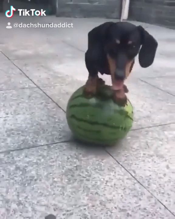 Funny Dachshund Video