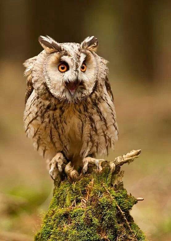Long-eared owl.