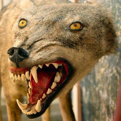 bad-taxidermy-wolf...,,my what big teeth you have....