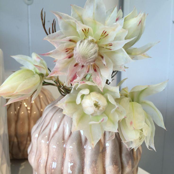 Nydelig leucadendron Blushing bride