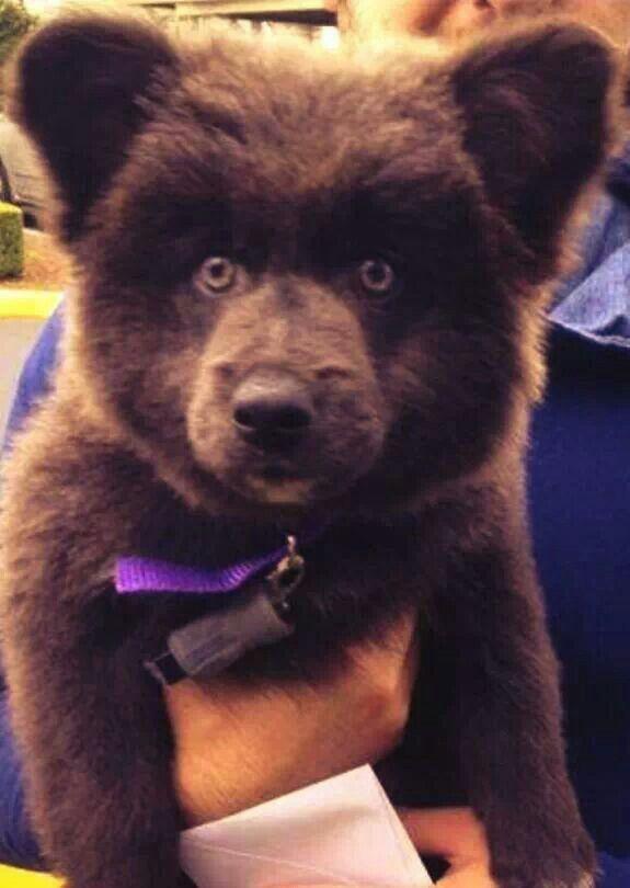 Super cute puppy... looks like a teddy bear. (Right ...