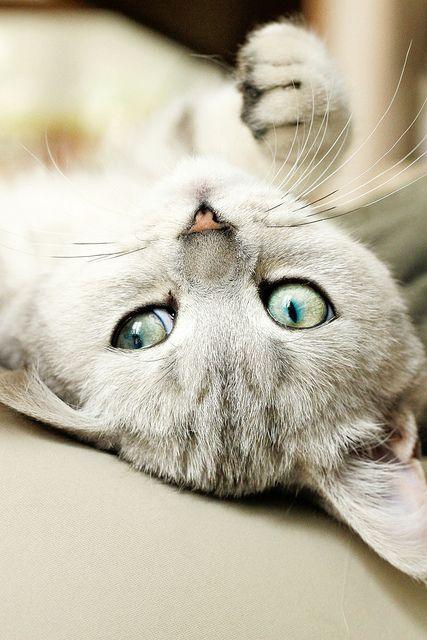 kittenjoy:    Kitten by milo.thoretton on Flickr.