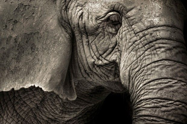 African forest elephants are being massacred into extinction. The U.S. must ban the ivory trade.