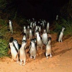 Penguin Parade Tour Lots of Penguins