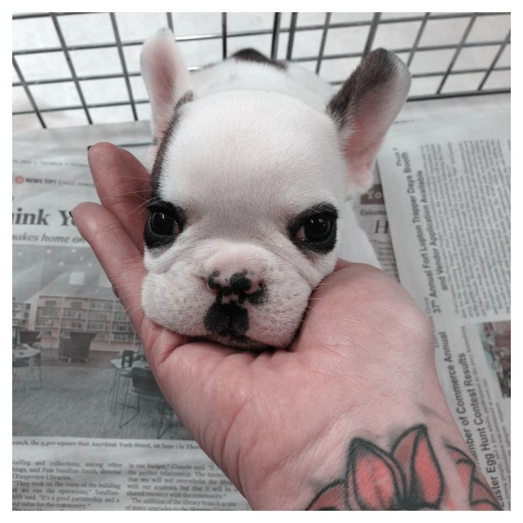 French bulldog  I want one! And her name shall be Anastasia Beaverhausen!
