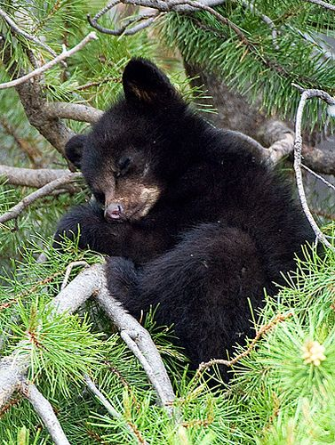 sleeping black bear cub <3