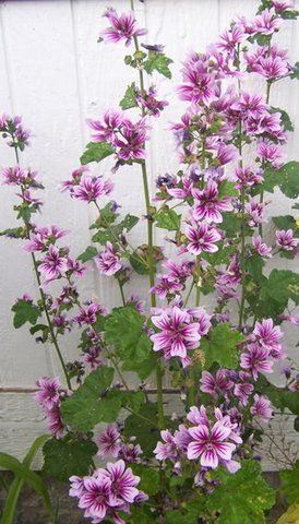 'Zebrina' malva, aka 'Zebrina' mallow or zebra hollyhock (photo by Triss) - bears 2 inch white to lavender flowers with deep purple stripes and center.