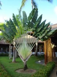 Resultado de imagen de tipos de palmeras