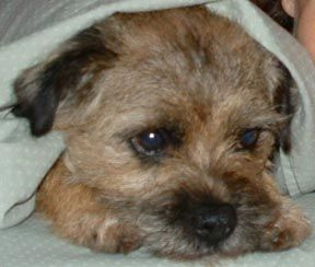 Border Terrier Information, Pictures of Border Terriers | Dogster