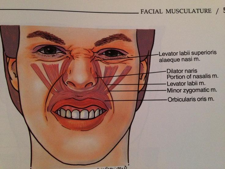 Upper lip and nasal musculature