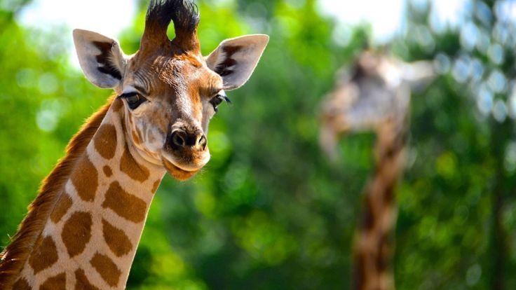 giraffe animal samsung note5 wallpaper download high quality