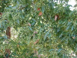 Camphor Seeds (Cinnamomum camphora) + FREE Bonus 6 Variety Seed Pack - a $30 Value!