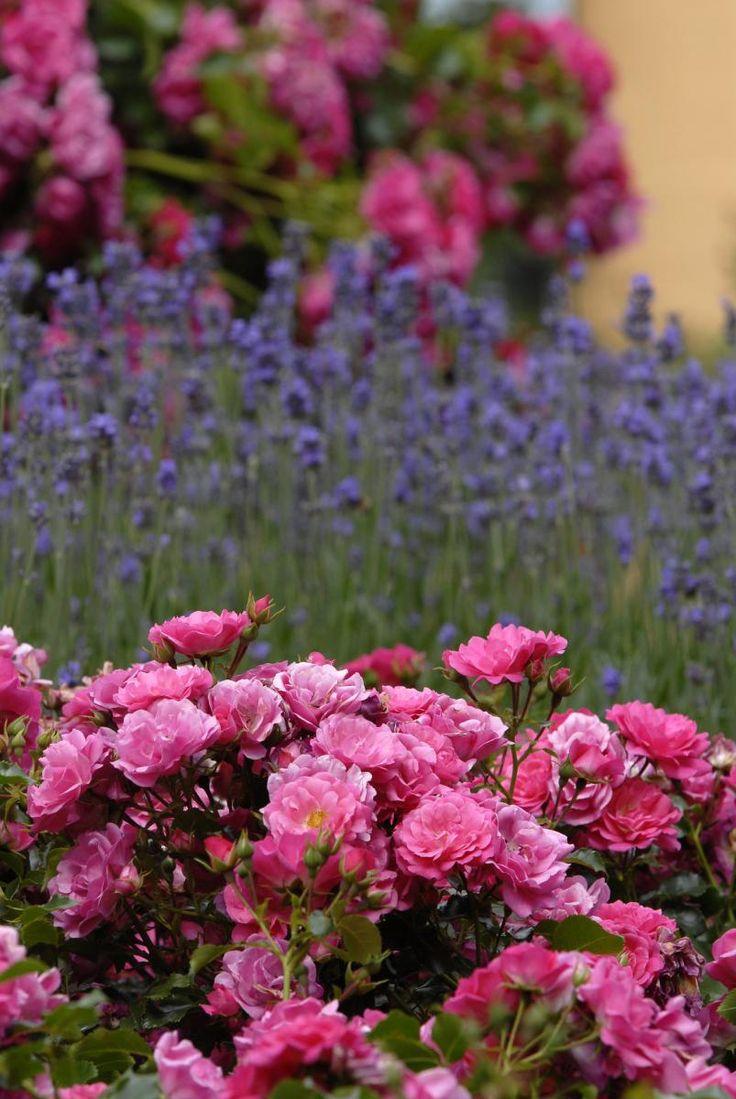 Flower Carpet roses (Pink) in front of a background of lavender in German rose breeder Noack Rosen's rose garden.