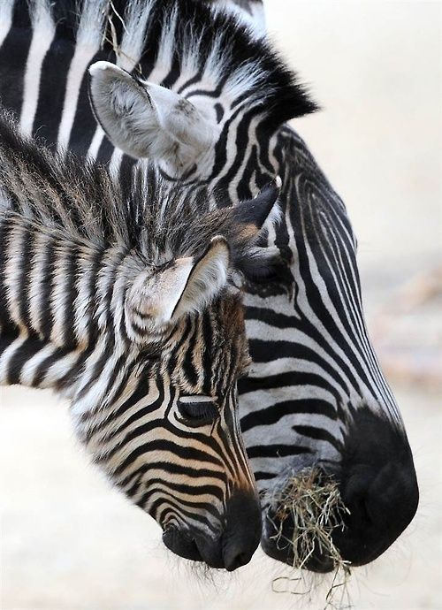 A zebra foal named Maalik stands next to its mother in their enclosure at the zoo in Hanover, Germany, on April 4.