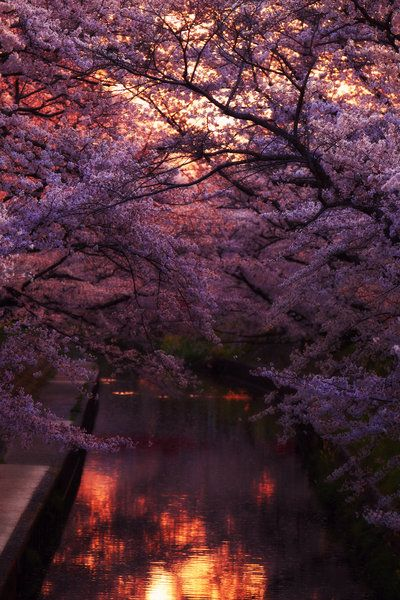 See the cherry blossom trees in Japan just before sunset.