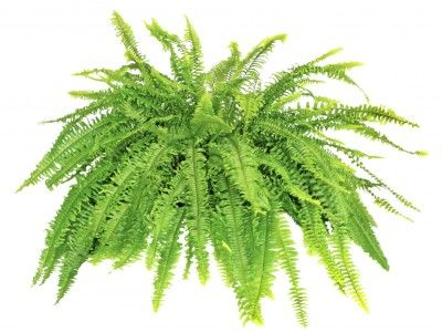 Boston Fern Repotting: How And When To Repot Boston Ferns - A healthy, mature Boston fern is an impressive plant that displays a deep green color and lush fronds that can reach lengths of up to 5 feet. Although it requires minimal maintenance, it periodically outgrows its container. Learn how to repot Boston fern here.