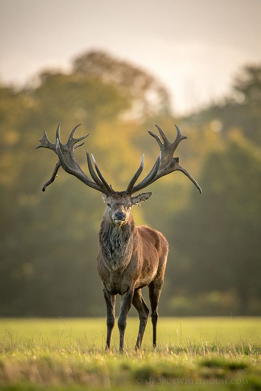 Post-rut Stag | by Old-Man-George