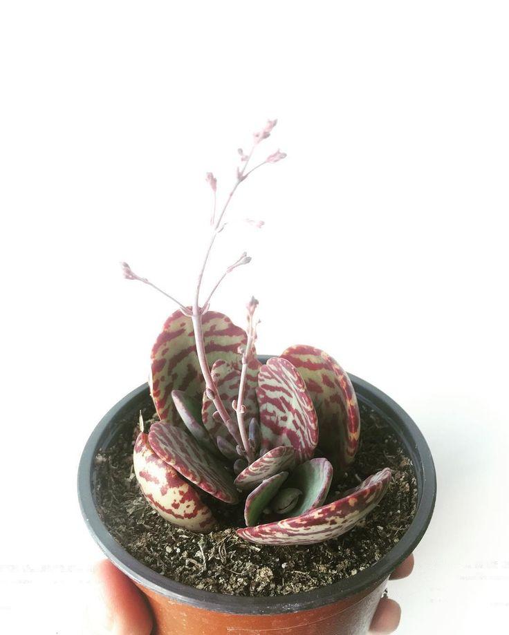 Unique succulent plant