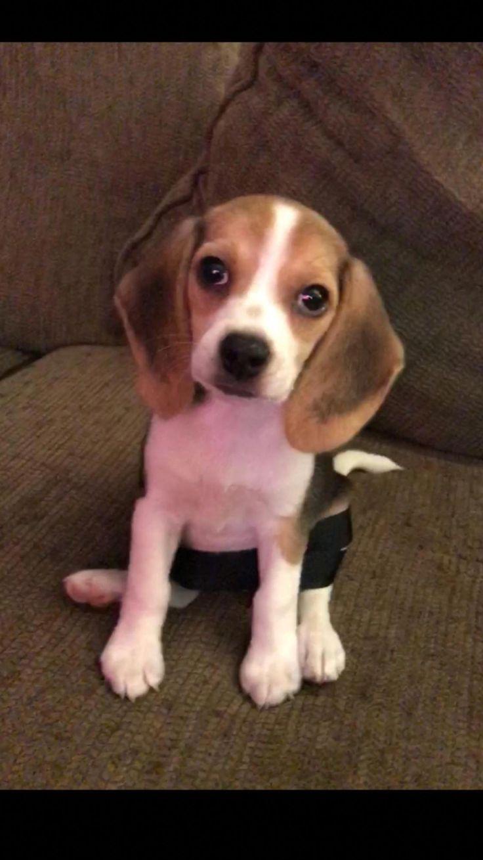 Beagle Adult Cute Pups Beagle Puppy Beagle Beagle Dog