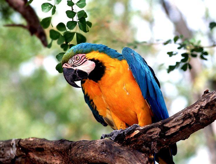 Flighted Pet Parrots   Facts About Parrots For Kids   Parrot Habitat & Diet