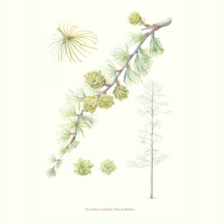 Bedgebury Pinetum Florilegium Society - Pearl Bostock