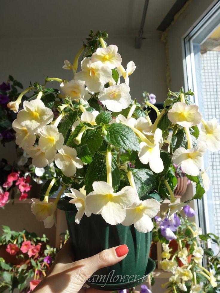 Улучшенный вариант ахименеса Santiano - еще более крупные цветы (до 5 см. в диаметре), еще более обильное цветение.