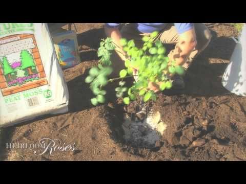 Rose Growing & Care / 'How To' Articles / Planting Roses / Heirloom Roses - Heirloom Roses