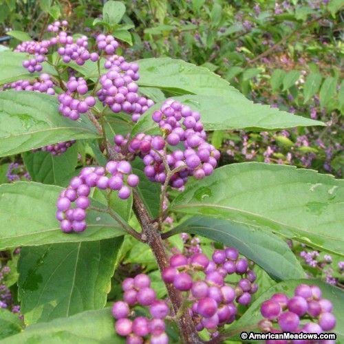 Beautyberry, Callicarpa Early Amethyst, Callicarpa dichotoma, Photo Credit - Vickie Goedde. Plant in fall